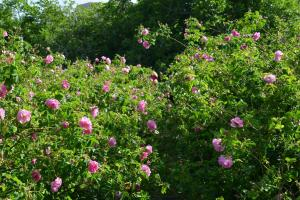 5-vallee-roses