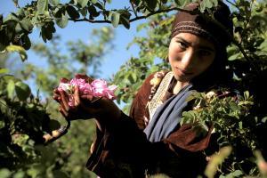 marocaine-roses